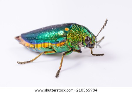 Beautiful Jewel Beetle or Metallic Wood-boring (Buprestid) isolated on white background. - stock photo
