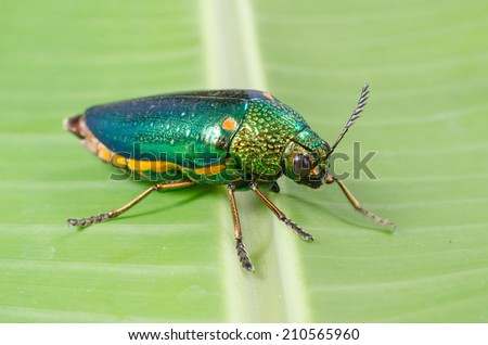 Beautiful Jewel Beetle or Metallic Wood-boring (Buprestid) on green leaf.