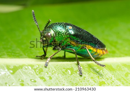 Beautiful Jewel Beetle or Metallic Wood-boring (Buprestid) on green leaf.  - stock photo