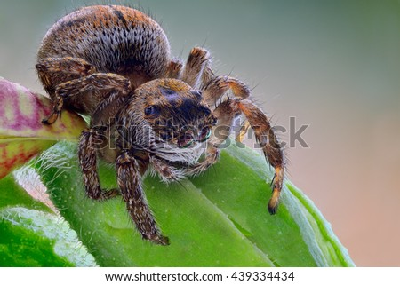 Beautiful Jumping Spider on a colorful background. Evarcha arcuata. Superb Macro Shot. - stock photo