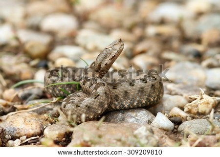 beautiful juvenile european nose horned viper ( Vipera ammodytes ) ready to strike; this is the most poisonous snake from Europe - stock photo