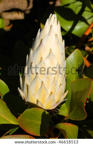 Beautiful King Protea Or Cynaroides Flower Blooming - stock photo