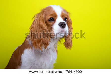 Beautiful king spaniel dog. Animal portrait. Stylish photo. Yellow background. Colorful decorations. Collection of funny animals