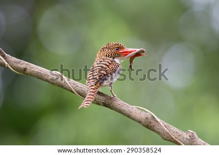 Beautiful kingfisher bird, female Banded Kingfisher (Lacedo pulchella) standing on a branch  green background soft focus - stock photo