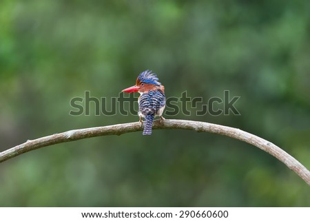 Beautiful Kingfisher bird, male Banded Kingfisher (Lacedo pulchella) standing on a branch green background - stock photo