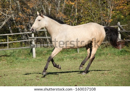 Beautiful kinsky horse running on pasturage in autumn