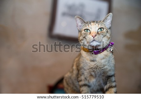 Beautiful kitty.  A short hair grey tabby sits on the counter of a historic shop.