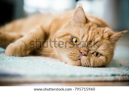 beautiful kitty face and eye close up perspective with blurred background