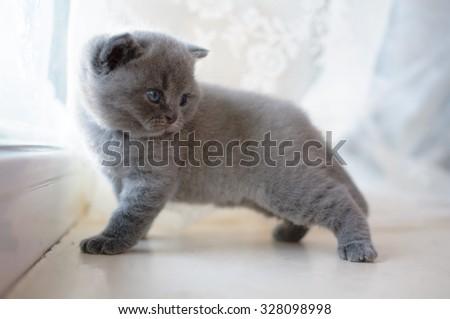 Beautiful kitty. Kitty model. British kitten. British Shorthair blue female, cute and beautiful baby kitten. Blue color in pedigree cats. Pet, good posture cat. - stock photo