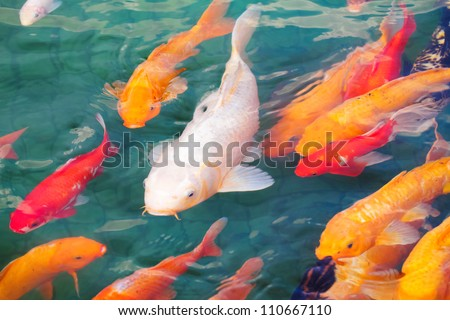 Koi Fish Stock Images, Royalty-Free Images & Vectors ... Japanese Koi Fish Swimming