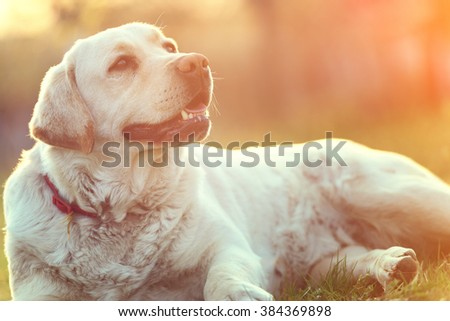 Beautiful labrador dog in outdoor with sunset in background - stock photo