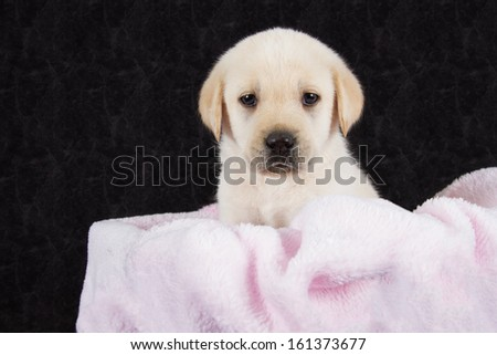 Beautiful labrador puppy lying in box with pink towel ready to sleep