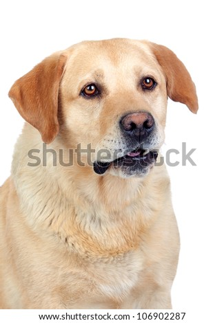 Beautiful Labrador retriever adult isolated on white background