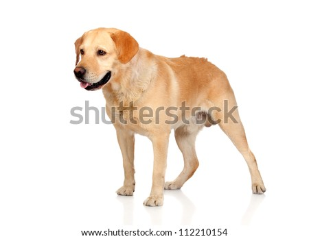Beautiful Labrador retriever adult isolated on white background - stock photo