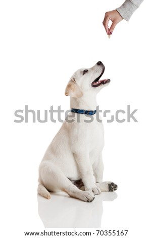 Beautiful labrador retriever cream puppy isolated on white being rewarded for good behavior - stock photo