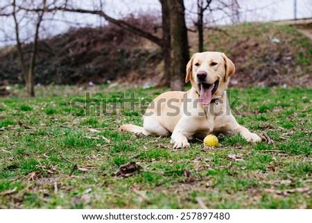 Beautiful labrador retriever dog in the park   - stock photo