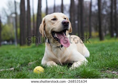 Beautiful labrador retriever dog in the park playing - stock photo