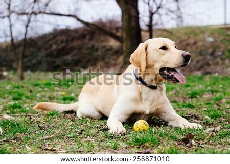 Beautiful labrador retriever dog playing in the park - stock photo