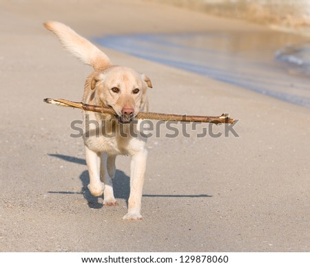 Beautiful Labrador Retriever dog playing on the beach with a stick - stock photo
