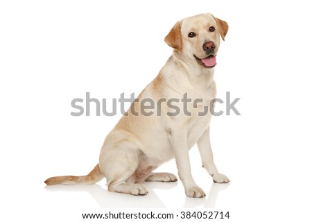 Beautiful Labrador retriever in front of white background - stock photo
