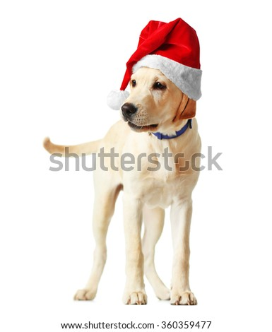Beautiful Labrador retriever in Santa hat isolated on white background
