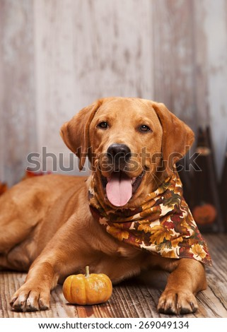Beautiful Labrador retriever lying next to a small gourd.  Other fall decor in the background.   Room for your text. - stock photo