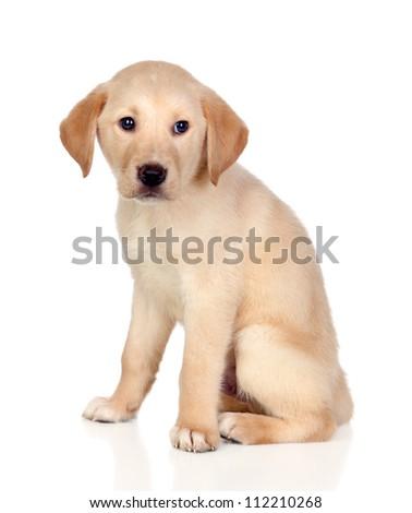 Beautiful Labrador retriever puppy isolated on white background - stock photo