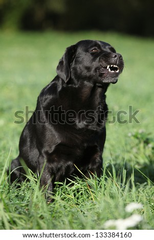 Beautiful labrador retriever sitting down and showing teeth - stock photo