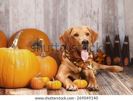 Beautiful Labrador retriever sitting next to some pumpkins and gourds.  Room for your text. - stock photo
