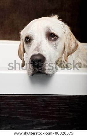 Beautiful labrador retriever with a sad look and being washed