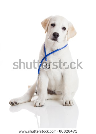 Beautiful labrador retriever with a stethoscope on his neck, isolated on white - stock photo