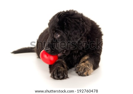 beautiful labrador with a toy in his mouth - stock photo