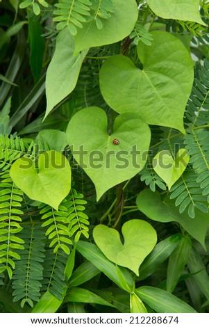 Beautiful lady bug on heart shape leaf. - stock photo