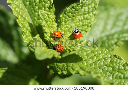 "Beautiful Lady Bugs ""Coccinellidae"" aka lady cows, Lady Bird Beatles are generally considered useful insects, because many species feed on aphids or scale insects, which are pests in gardens. - stock photo"