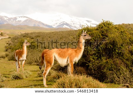Beautiful lama on a hill in Patagonia, Chile