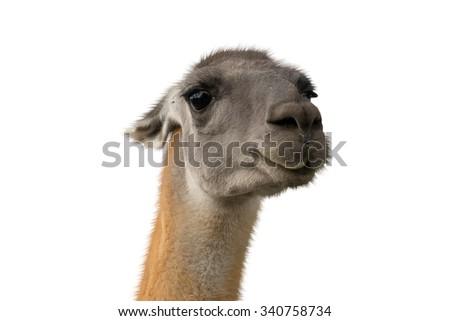 Beautiful lama portrait on a white background - stock photo