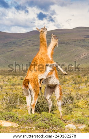 Beautiful lamas on a hill in Patagonia, Chile