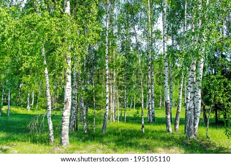 Beautiful landscape birch forest white birch trunks stock photo