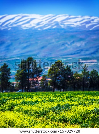 Beautiful landscape, Lebanon snowy mountains, fresh floral field, yellow rapeseed meadow, travel and tourism concept - stock photo
