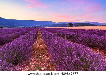 Beautiful landscape of lavender and wheat fields at sunset near Sault, Provence-France