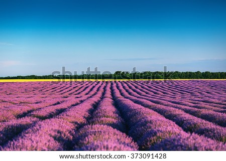Beautiful landscape of lavender fields