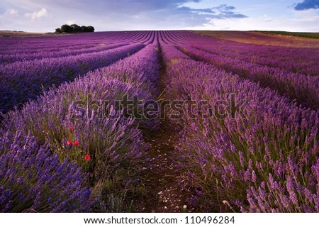 Beautiful landscape of lavender fields at sunset with dramatic sky - stock photo