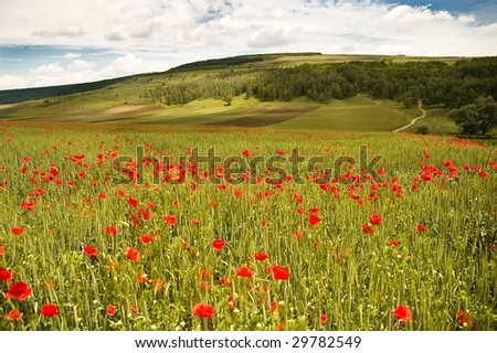 Beautiful landscape of poppy fields - stock photo