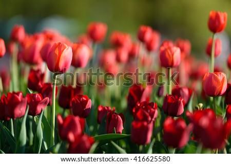 Beautiful landscape of red tulip at middle of spring. Landscape flowers. Landscape view. Sunny landscape. Landscape tulips under sunlight landscape. Landscape. Garden landscape background - stock photo