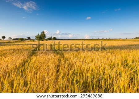 Beautiful landscape of sunset over corn field at summer. Beautiful grown corn ears in summertime field at sunset. - stock photo