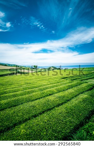 Beautiful landscape of tea plantation in Sao Miguel island, Azores, Portugal - stock photo