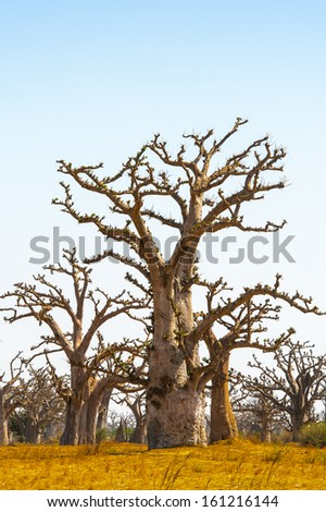Beautiful landscape of the baobab tree in Africa - stock photo