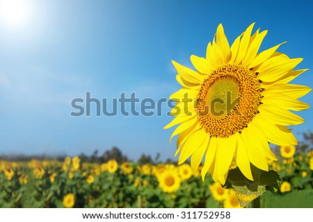 Beautiful landscape sunflower in garden with soft focus clouds blue sky background. Flowers yellow and green garden during the daytime with bright sun light.  - stock photo