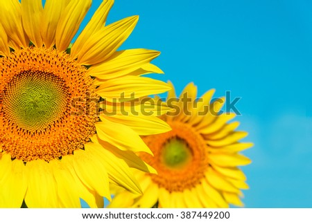 Beautiful landscape sunflower isolated in garden with soft focus clouds blue sky vintage pastel background. Flowers yellow and green garden during the daytime with bright sun light. - stock photo