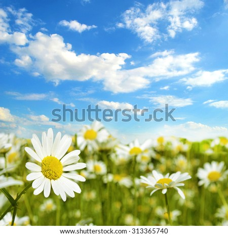 Beautiful landscape with camomile against the sky (natural background, poster, greeting card - concept) - stock photo